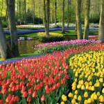 parc plin de lalele colorate si flori de primavara
