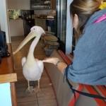 pelicanul Petro mascota insulei Mykonos