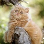 Pisica – rasa persana