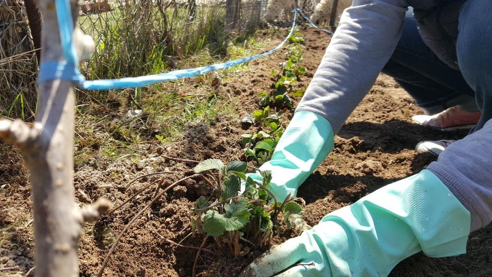 plantare capsuni
