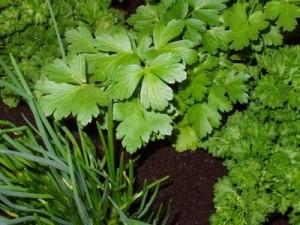 plante aromatice gradina