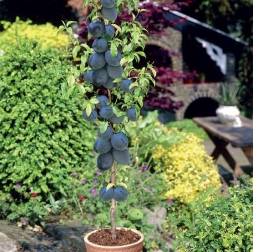 pom fructifer pitic prun columnar cultivat in ghiveci