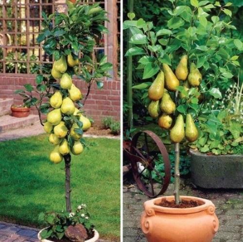 pomi fructiferi pitici peri columnari in ghiveci