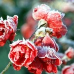 Cum protejam trandafirii de zapada si ger
