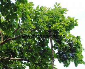 prune coapte pentru gem