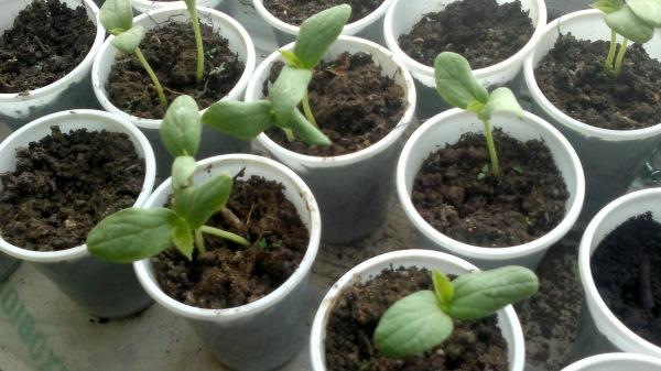rasadnita seminte pepeni