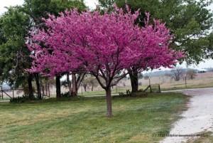 redbud sau arborele lui iuda copac ornamental