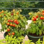 rosii cherry cultivate in ghiveci pe balcon
