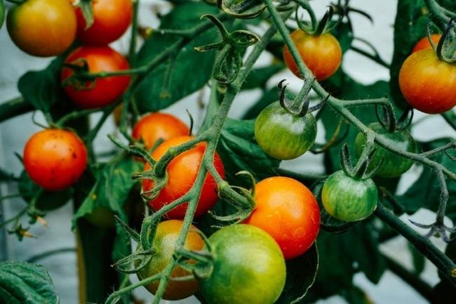 rosii cherry verzi si coapte pe tulpina de tomata