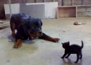 Video: Puiul de pisica sau Rottweilerul?