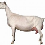 Despre capre de rasa Saanen