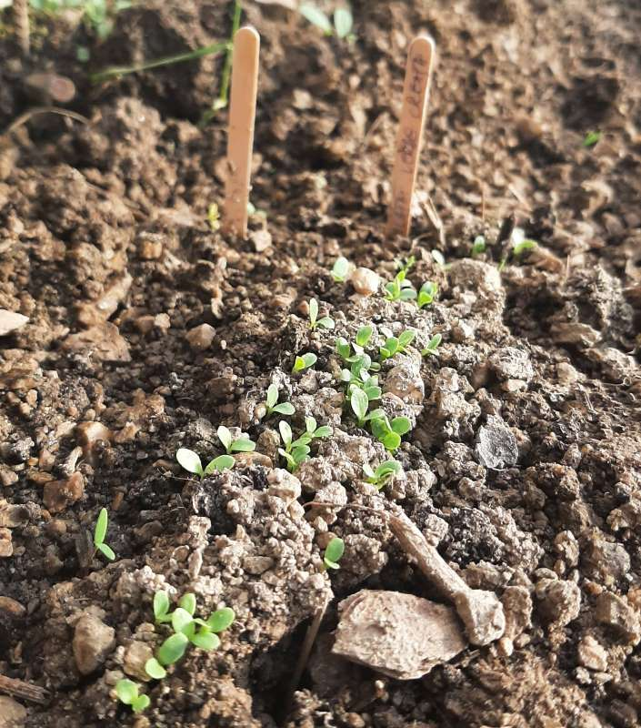 salata-verde-creata-rasarita