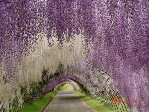 salcam japonez glicina wisteria