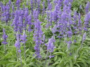 salvia floare perena medicinala