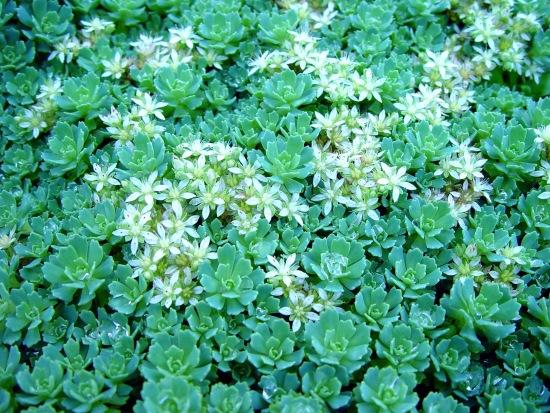 sedum planta suculenta