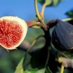 Smochinul din gradina – un pom cu fructe parfumate