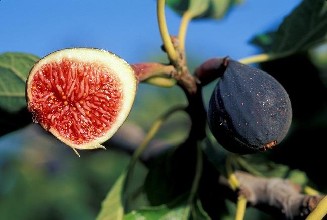 smochin pom fructifer mediteranean