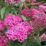 De ce sa plantezi cununita (spiraea japonica) in gradina