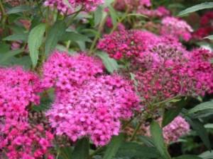 spiraea japonica arbust ornamental