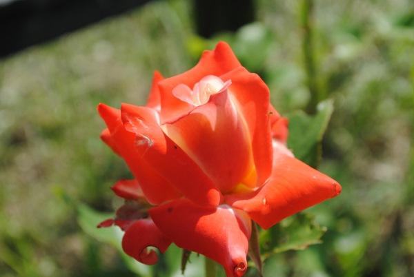 trandafir agatator din gradina