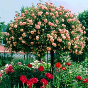trandafir altoi inalt pomisor