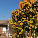 Cum plantam trandafirii de gradina – sfaturi