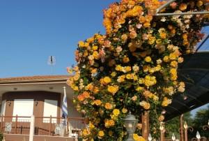 trandafir catarator galben