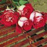 trandafir osiria 1