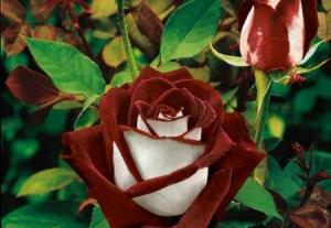 Trandafir Osiria
