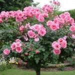 Trandafir pomisor, cu altoi inalt