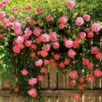 Trandafirii – parfumul si culoarea gradinii tale