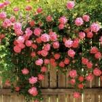 Trandafirii cataratori, pentru pergole, garduri si ziduri imbracate in flori