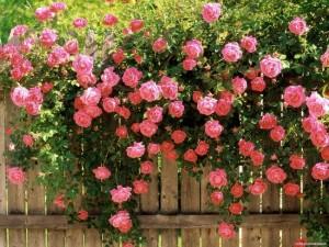 trandafiri cataratori roz decor gard din lemn