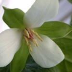 trezirea macaleandrului trillium floare perena de primavara inflorescenta alba