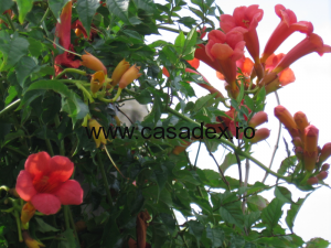 Trompeta (trambita), arbust ornamental exotic