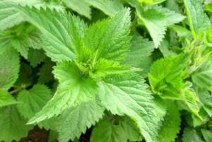 urzica planta medicinala si comestibila