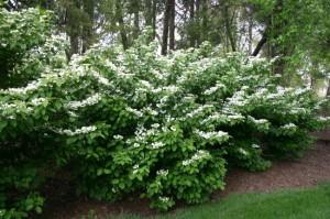 viburnum plicatum arbust decorativ flori albe