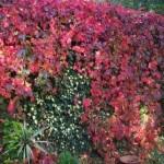 Parthenocissus, vita decorativa canadiana