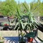 yucca planta decorativa interior